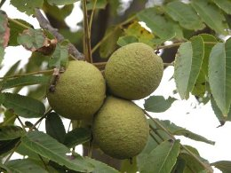 Black Walnut safely and gentlely promotes healthy regularity while nourishing the entire body.  Many people also use these hulls in topical mask for vibrant, healthy-looking skin, contains organic iodine which has antiseptic.  Additionally, this herb is used extensively as a vermifuge to expel internal parasites.