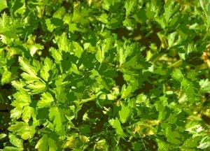 Parsley, provide toxic kidney essential nutrients, aids cleansing, heals urinary tract.  Slow gentle diuretic, parsley poultice relieves breast tenderness in lactating women.